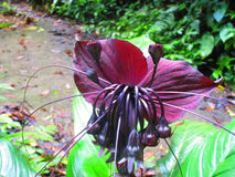 Black bat flowers, Tacca chantrieri  The genus Tacca. Black bat flowers (scientifically known as Tacca chantrieri) is a plant that belongs to the yam family Stock Images