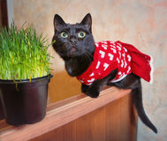 Black bat in  knitted red dress with grass pot Stock Photo