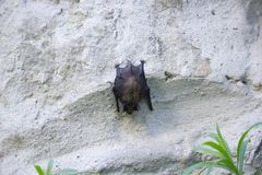 Bat on the Wall on Day. Black Bat on the White Wall on Day Sleeps Upside Down royalty free stock photos