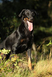 Black Bauce Shepherd in beautiful forest Royalty Free Stock Photos