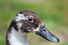 Black beaked Duck face Stock Image