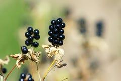 Black beans. Many black Beans on twig Stock Photos