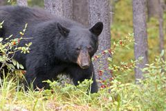 Black Bear 1. Canadian Black Bear hunting for berries in the woods of Jasper national park Stock Images