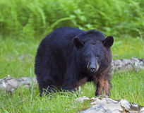 Black Bear. Large Black Bear at Shenandoah National Park Royalty Free Stock Photo