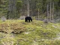 Black bear. Stock Image