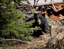 Black Bear. In Yellowstone national park Royalty Free Stock Images