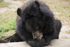 Black bear Royalty Free Stock Photos