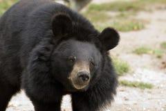 Black bear Royalty Free Stock Image