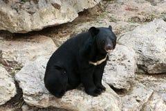 Black bear. Sitting on stones, safari Ramat Gan Royalty Free Stock Photos