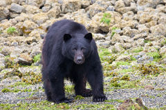 Black bear. A black bear standing looking at the photographer. Taken near Tofino, Canada Royalty Free Stock Images