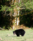 black bear Obrazy Royalty Free