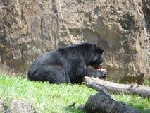 Black_bear royalty-vrije stock foto