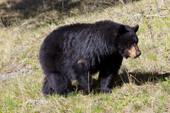 Black bear. In the national park of the Yellowstone, Wyoming Stock Photos