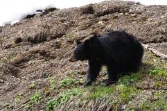 Black bear Stock Images
