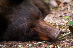 Black Bear. A photo of an american black bear Royalty Free Stock Image