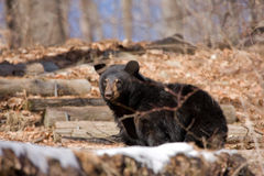 Black Bear Stock Image