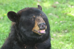 A black bear. Royalty Free Stock Images
