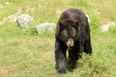Black Bear Royalty Free Stock Image