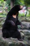 Black bear. A Black bear in the zoo Royalty Free Stock Photo