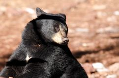 Black bear. A black bear during winter time in Northern Arizona Stock Image