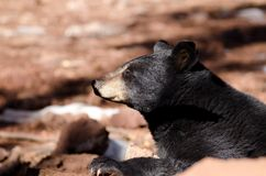 Black bear. A black bear during winter time in Northern Arizona Stock Photography