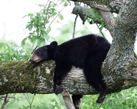 Black Bear. A young black bear in a tree Stock Photography