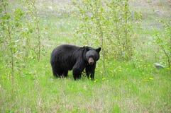 Black bear. Stock Image