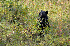 Black Bear. Eating berries, in autumn colors Stock Images