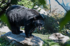 Black bear. Walking around in the woods stock image
