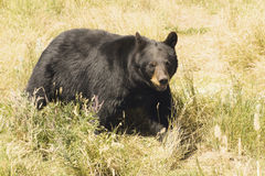 A Black Bear Royalty Free Stock Photography