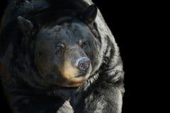 Black Bear. Nice Image of a Black Bear on Black background Royalty Free Stock Images