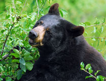 Black Bear. A black bear in it's natural environment Royalty Free Stock Photography