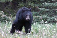 black bear zdjęcie royalty free