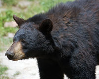 black bear Obraz Royalty Free