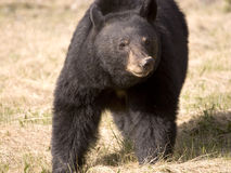 Black bear. Shot in Jasper National Park, Alberta Stock Photography