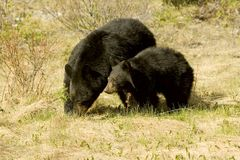 Black bear. Shot in Jasper National Park, Alberta Royalty Free Stock Photos