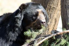 Black Bear-4 Stock Image