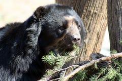 Black Bear-4. Black Bear having fun stock image