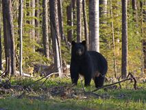 Black Bear. A black bear in Northern Alberta, Canada royalty free stock photo