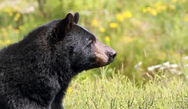 Free Black Bear Royalty Free Stock Photos - 43797618