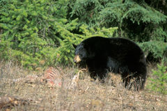 Black Bear Royalty Free Stock Photography