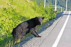 black bear Zdjęcia Stock