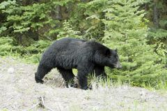Black bear. Black bear on a stroll in Jasper National Park Stock Photography