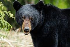 Free Black Bear Stock Images - 58959514