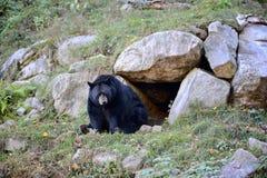 Free Black Bear Stock Photo - 61153000