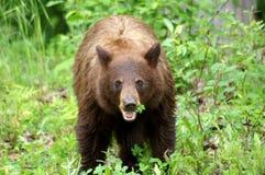 Black bear Royalty Free Stock Photos