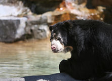Black bear. By a pond Royalty Free Stock Image
