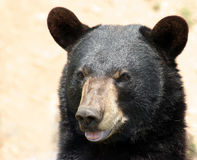 black bear obrazy stock