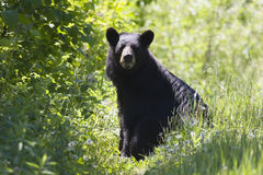Black Bear. A black bear sitting on the edge of a forest area Stock Image