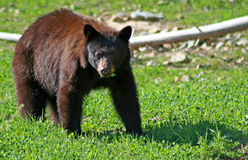 Black bear. A black bear feeding on clover royalty free stock photo